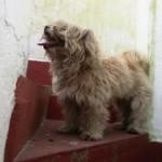 Piki, caniche en adopción