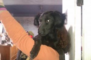 Machos en adopción cachorros sag
