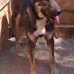 Machos en adopción dingo