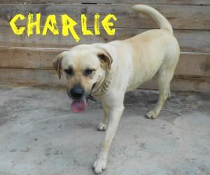 Machos en adopción charlie