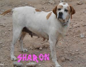 Hembras en adopción sharon