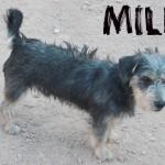 Machos en adopción milu